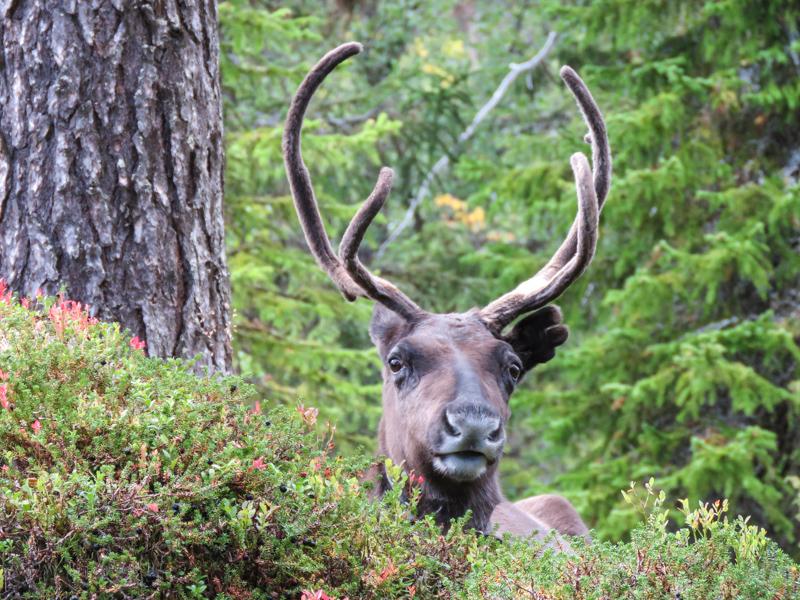 Reindeer Lovis